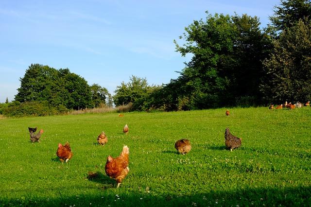 Aktuell hat sich am Beispiel Hühnerfleisch gezeigt, wie wichtig BIO sein kann